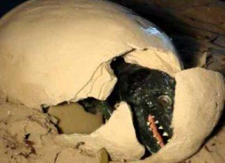 গুজরাটেমাটি খুড়েডাইনোসরের ডিম!