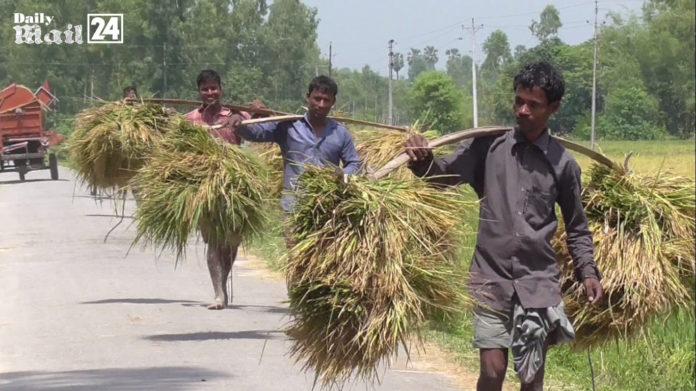 দিনাজপুরে বোরো ধানের বাম্মার ফলন, কৃষক চায় ন্যায্য মূল্য